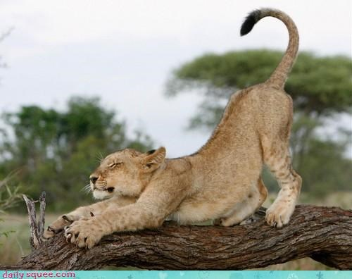acting like animals,cub,cute,excuse,houdini,lion,napping,stretching,tai chi,yoga