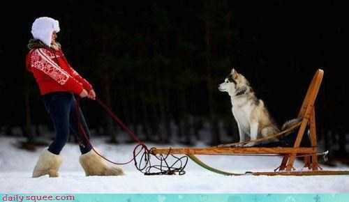 acting like animals dogs dogsledding funny human husky payback pulling resting role reversal sled