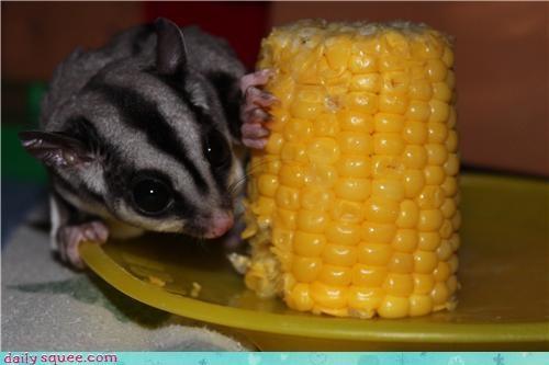 corn,nom,pets,sugar glider