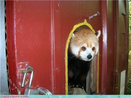 cute red panda - 4165387264