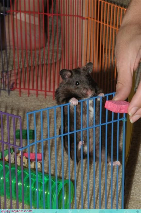 cute hamster rat - 4167669760