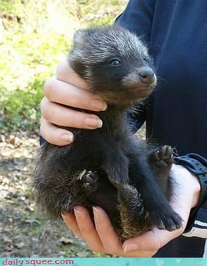 pup,raccoon dog,squee spree,tanuki