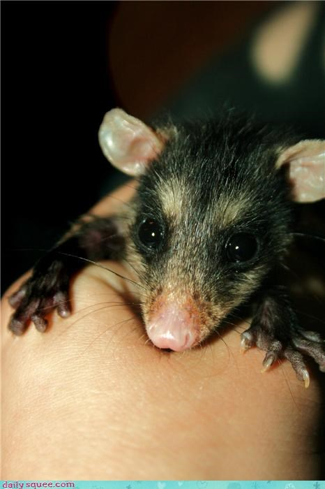 cute,opossum,pet,possum