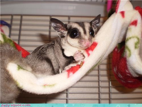 pet,power,sugar glider