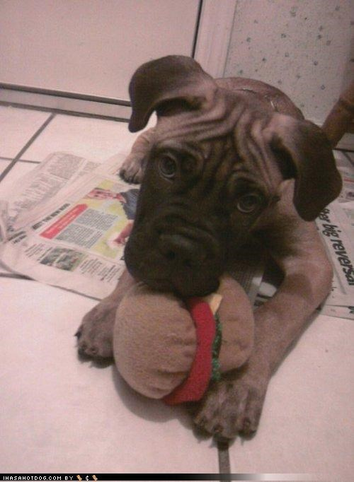 bullmastiff,cheeseburger,cute,funny,kitteh,puppy,stealing,stuffed,taste,themed goggie week,toy,weird,winner