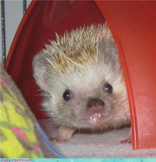 hedgehog hedgie pet smile - 4169360640