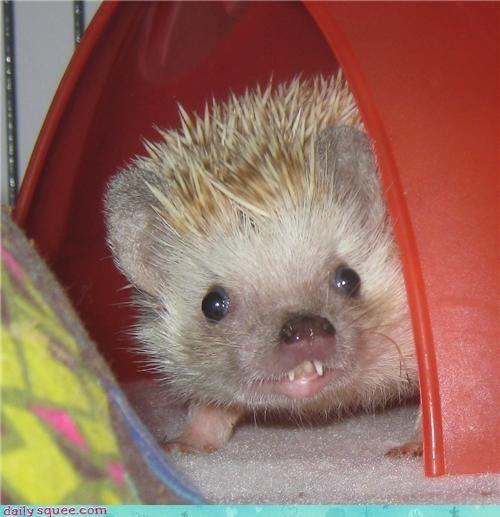 hedgehog hedgie pet smile - 4169360640