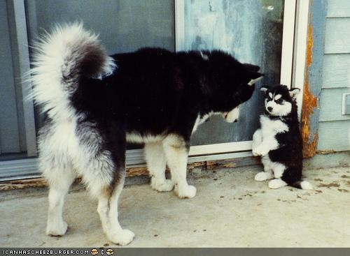 cute,cyoot puppeh ob teh day,discipline,do not want,husky,parent,puppy,scolding,time out