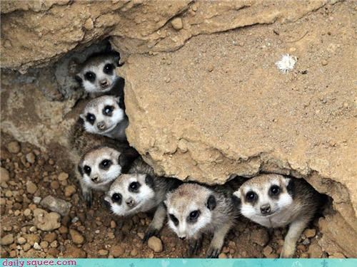 cute,meerkat,mongoose,weasel