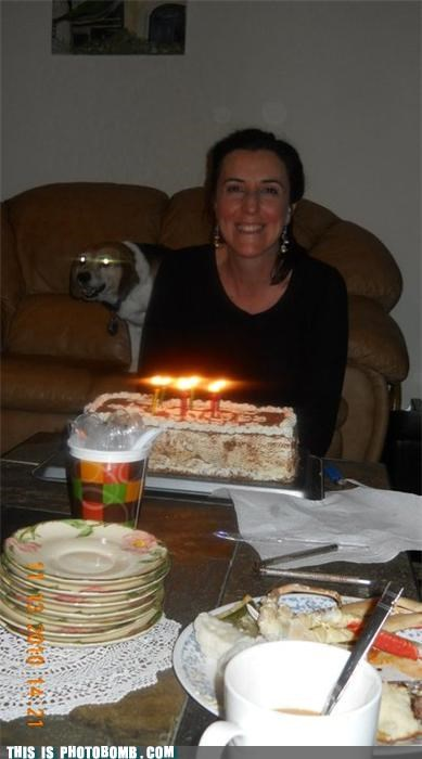 animals,cake,cake is a lie,demon dog,dogs,photobomb