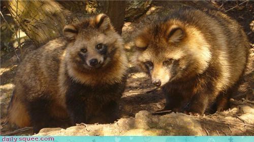 raccoon dog squee spree tanuki