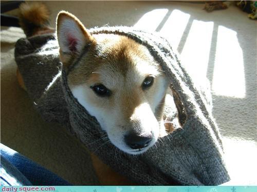 cute dogs puppy shiba inu - 4174356992
