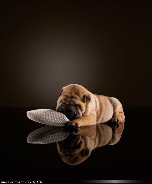 bull mastiff bullmastiff cute napping posing puppy sleeping themed goggie week - 4175780864