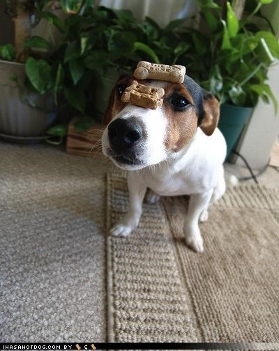 balancing eager impatient jack russell terrier noms nose patience sitting treats unhappy
