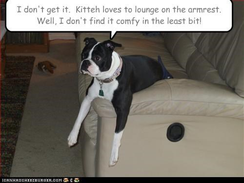 armrest,boston terrier,comfy,comparison,couch,disappointed,do not understand,dont get it,kitty,not,uncomfortable,weird