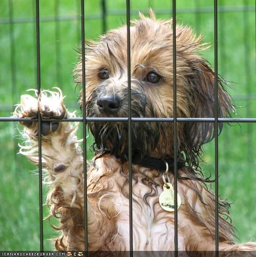 begging,cute,cyoot puppeh ob teh day,kennel,let me out,permission,please,puppy,puppy eyes,question,tibetan terrier