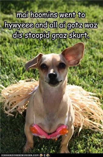 chihuahua,disappointed,grass skirt,Hawaii,hoomins,hula,humans,skirt,souvenir,vacation