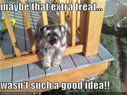 bad idea,extra,fence,mistake,one more,regret,schnauzer,stuck,treat