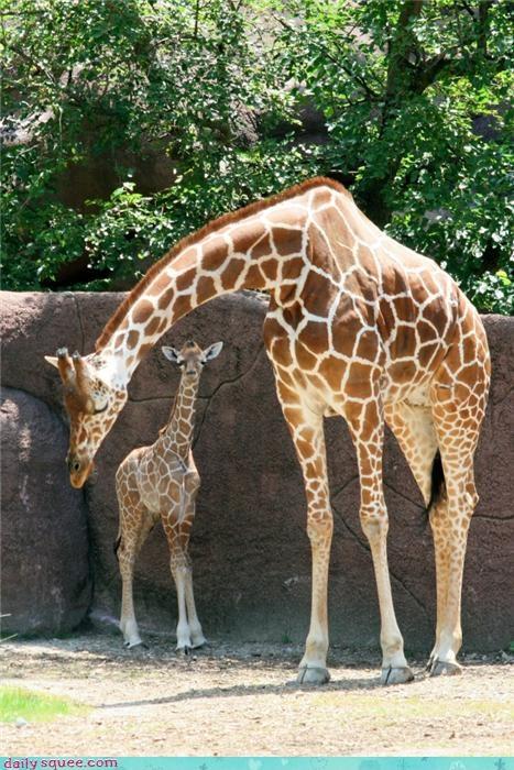 baby cute giraffes mama - 4178093568