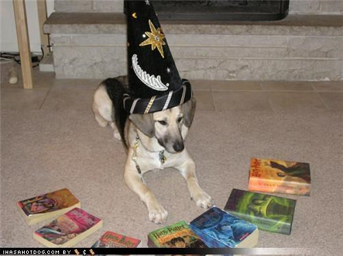 celebrating costume excited golden retriever Hall of Fame Harry Potter maltese Movie new poodle sorting hat special occasion whatbreed wizards