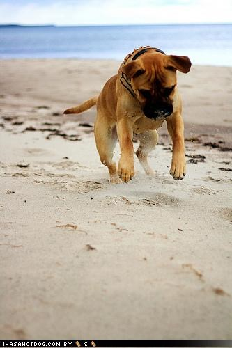 beach bull mastiff bullmastiff eek sand startled surprised themed goggie week - 4178702592