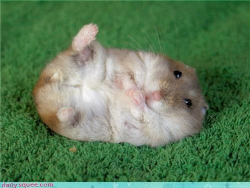 adorbz curl defense defense curl dwarf dwarf hamster hamster move nerdy Pokémon - 4179315200