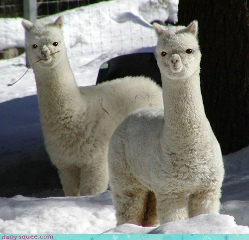 alpaca cute floof llama