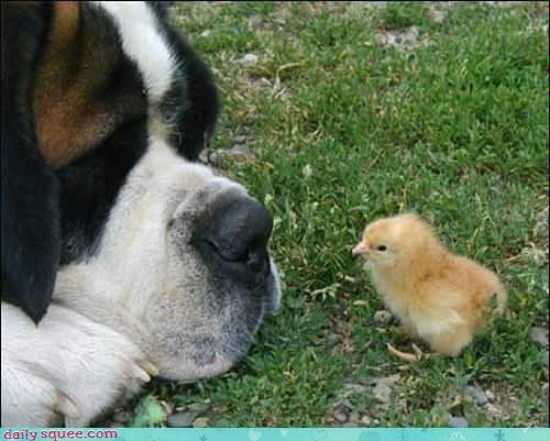 baby,chick,dogs,gentle,tiny