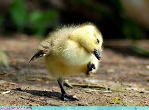 acting like animals baby bird chick counting marching orders squee - 4179478528