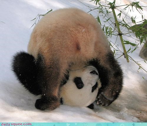 accident acting like animals clumsy FAIL miltank mistake oops panda Pokémon rollout upside down whoops - 4179607808