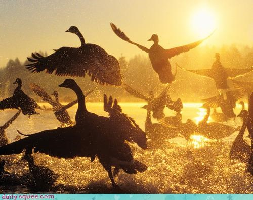 acting like animals flying geese pack - 4179608832