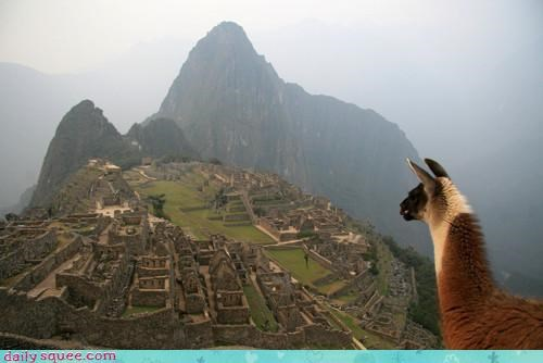acting like animals,alpaca,amazing,cliff,confused,machu picchu,view,weird