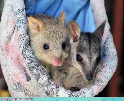 bettong marsupial marsupials wallaby - 4181402368