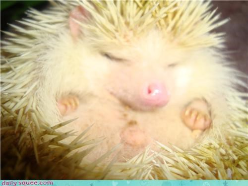 christmas hedgehog squee spree vote - 4188105216