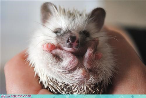 cute hedgehog hedgehogs squee spree - 4189880320