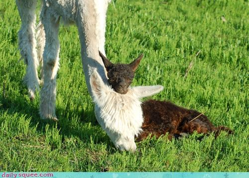 alpaca,baby,Hall of Fame,mama,pet,reader squee,squee