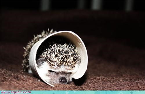 hedgehog squee spree user pets - 4190289408
