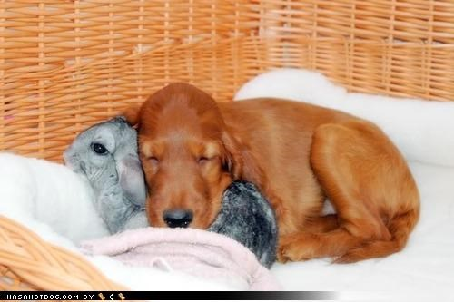 chinchilla comfy cute friendship makeshift Pillow puppy sleeping thanks thx warm whatbreed - 4190923264