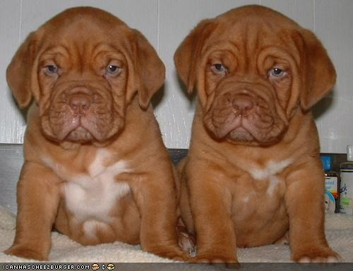 bordeaux mastiff cute cyoot puppeh ob teh day grumpy puppies puppy siblings twins - 4192592896
