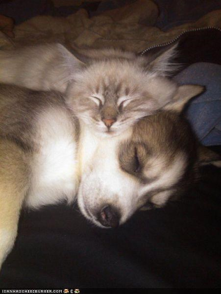 dogs friends goggies r owr friends Interspecies Love Pillow sleeping - 4193390592