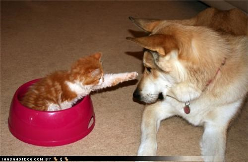 bowl,food,kittehs r owr friends,kitten,mixed breed,noms,question,shiba inu,tabby
