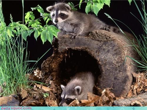 baby cute raccoon - 4193576192