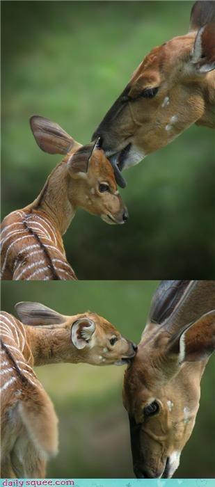 cute deer lick