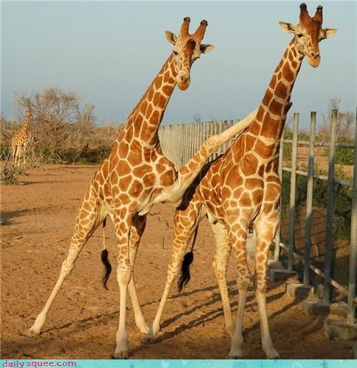 bunny ears forever friends giraffes mean paranoid photobomb picking on question teasing - 4193589248