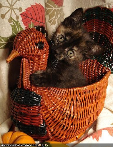 basket,cyoot kitteh of teh day,holidays,thanksgiving,Turkey
