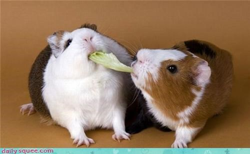 cute guinea pig Om Nom Monday - 4195365632