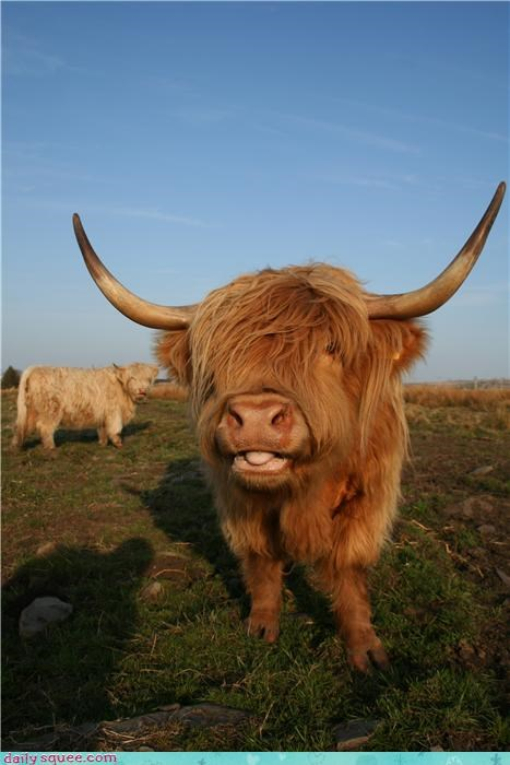 long hair scotland horns squee cows - 4196327424