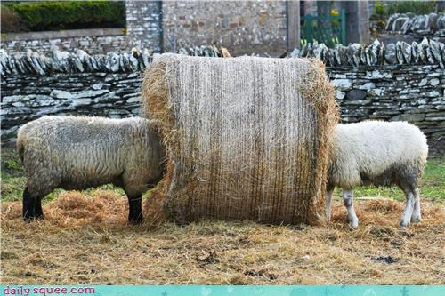 hay,nom,noms,sheep