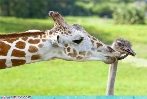 cute,giraffes,ostrich