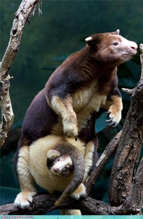 cute kangaroo tree tree kangaroo - 4196490240